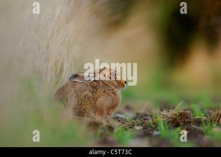 BROWN LIEBRE Lepus europaeus Perfil de un adulto descansando en un campo Margen. De mayo. Derbyshire, Reino Unido Imagen De Stock
