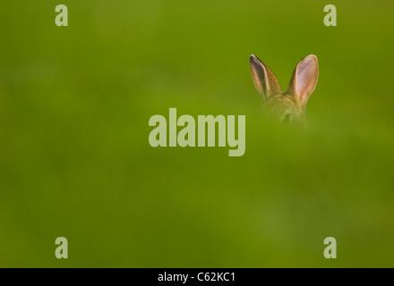 Conejo Oryctolagus cuniculus una alerta jóvenes orejas sobresalgan por encima de un banco de césped Norfolk, Imagen De Stock