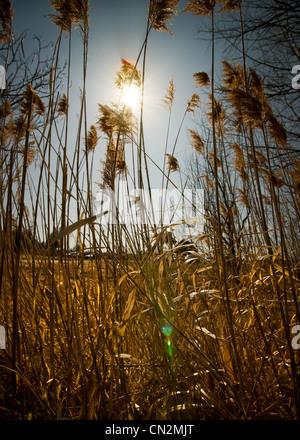 Tallos de malezas altas semi-siluetas contra la quema de un sol en el cielo diurno. Imagen De Stock
