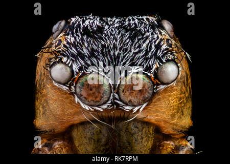 Retrato de un jumping spider magnificada 10 veces Imagen De Stock