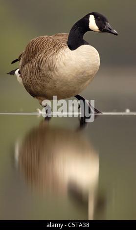 Canadá ganso Branta canadensis un adulto se refleja como se posa sobre las rocas sumergidas en un lago tranquilo. Imagen De Stock