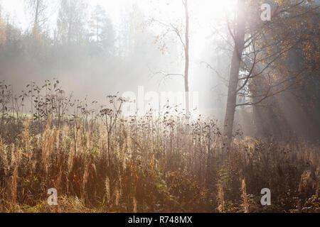 Paisaje de bosques y pastos largos en rayos de sol, otoño misty Lohja, Finlandia Meridional, Finlandia Imagen De Stock