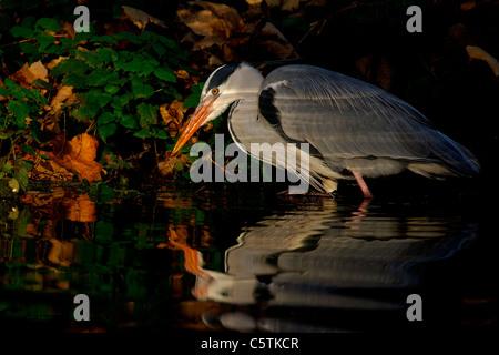 Garza Real Ardea cinerea un adulto de la pesca en el río Lea en Hackney, Londres. De noviembre. Río Lea, Imagen De Stock