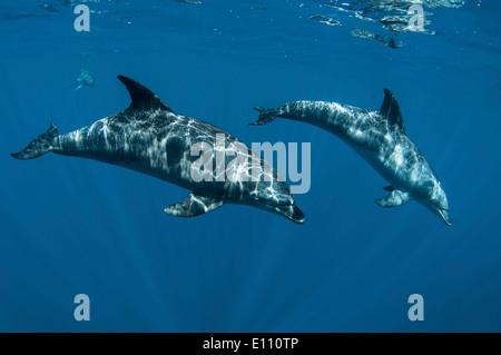 Los delfines mulares, cerca de la superficie, Egipto (Tursiops truncatus) Imagen De Stock