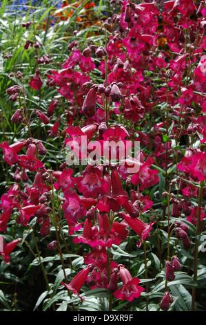 Rojo intenso - Penstemon herbácea perenne de Oporto Imagen De Stock