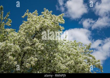 Floración de primavera cerezo sobre un fondo de cielo azul con nubes Imagen De Stock