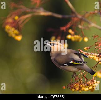 WAXWING Bombycilla garrulus adulto encaramado en un claro, amarillo variedad de rowan Nottinghamshire, REINO UNIDO Imagen De Stock