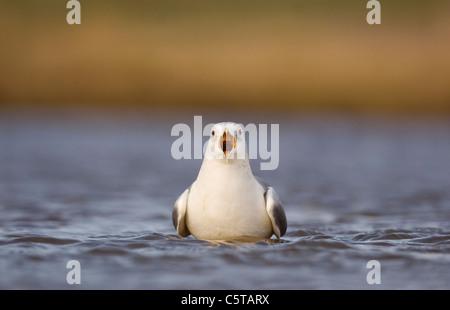 """Gaviota común Larus canus adulto en su plumaje de invierno """"vocación"""" largo recto hacia el fotógrafo. Imagen De Stock"""