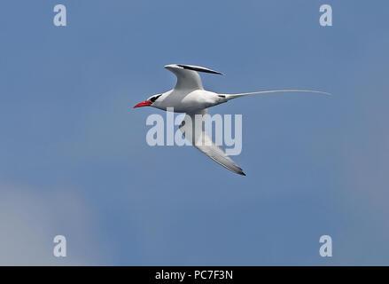 Rojo-facturados Tropicbird mesonauta (Phaethon aethereus) adulto en vuelo de Cabo Verde, Atlántico Oriental Mayo Imagen De Stock