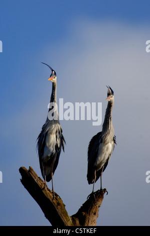 Garza Real Ardea cinerea las parejas reproductoras, crestas erecto, posado juntos sobre un tocón de árbol Imagen De Stock