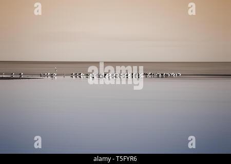 La colonia de cría de bandadas de pájaros en el Mar de Salton en California. Imagen De Stock