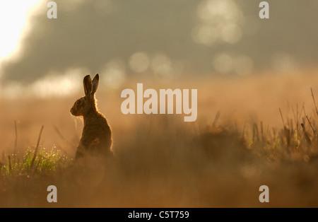 BROWN LIEBRE Lepus europaeus retrato de una alerta adulto en la luz de la mañana. De marzo. Derbyshire, Reino Imagen De Stock