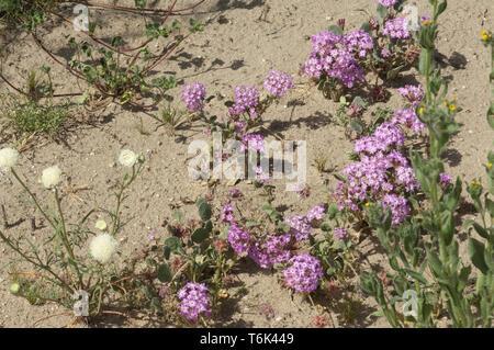 Flores de primavera en el desierto Mohave ecosistema de Big Rock Creek Wildlife Sanctuary, California. Fotografía Digital. Imagen De Stock