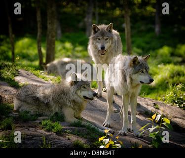 Un pequeño paquete de tres lobos de Madera Oriental se reúnen en una pendiente rocosa en el desierto norteamericano. Imagen De Stock