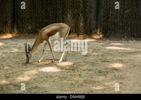 Gacela en un zoo, el Zoo de Barcelona, Barcelona, Cataluña, España Imagen De Stock