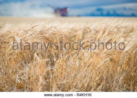 Cosecha de Cebada de verano madura en el sol y en el fondo de la cosechadora en la granja Imagen De Stock