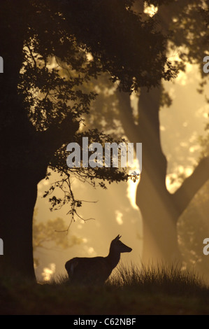 Ciervo rojo Cervus elaphus una hembra adulta es silueteado al amanecer en woodland LEICESTERSHIRE, Reino Unido Imagen De Stock