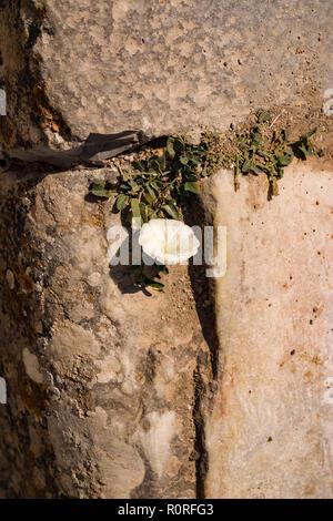 Growning wold flor en el espacio entre las rocas de un muro de roca. © Myrleen Pearson ...Cate Ferguson Imagen De Stock