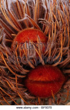 Banksia las vainas deben abrir fuego para la dispersión de las semillas, el Parque Nacional Río Fitzgerald, Imagen De Stock