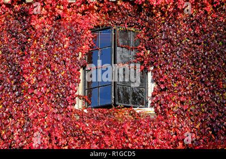 Rojo otoñal reductor de virginia planta sobre la pared del edificio, Cambridge, Inglaterra. Imagen De Stock