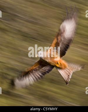 RED KITE Milvus milvus adulto volando a velocidad (borrosa para ilustrar los movimientos). De marzo. Mid Wales, Imagen De Stock