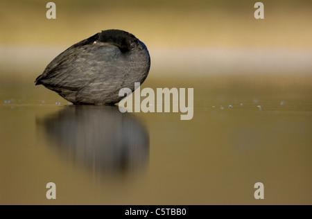 Focha Común Fulica atra un adulto posados sobre un lago tranquilo al amanecer. De marzo. Derbyshire, Reino Imagen De Stock