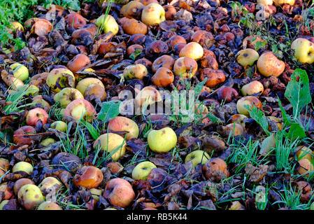 Manzana podrida vieja sobre la hierba verde en el jardín Imagen De Stock