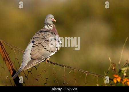 Paloma Torcaz Columba palambus un adulto, sus plumas erizadas, encaramado sobre una valla de alambre oxidado Gloucestershire, Imagen De Stock