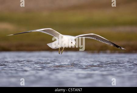 Gaviota común Larus canus adulto en su plumaje de invierno viene a la tierra en una laguna costera superficial. Imagen De Stock