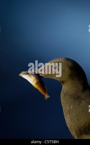 GUILLEMOT Cepphus grylle negro adulto en perfil y en luz del atardecer con un gran pez. Julio. Islas Shetland (Escocia, Imagen De Stock