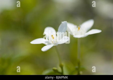 Flores de color blanco puro en el fondo borroso de espacio de copia Imagen De Stock