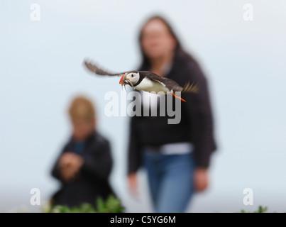 Fratercula arctica frailecillo un adulto entra en tierra con algunos lanzón, como ver a la gente cercana. De Imagen De Stock