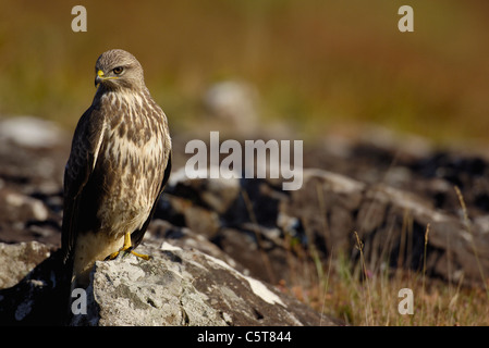 Ratonero Buteo buteo adulto posado sobre una roca en el camino en la brillante luz del sol de invierno. De octubre. Imagen De Stock