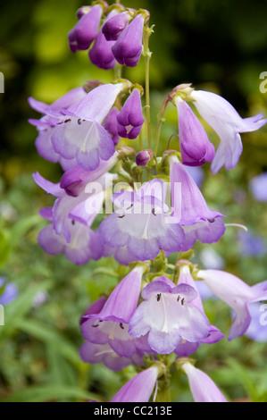 Alice Penstemon Hindley - Luz flores de malva Imagen De Stock