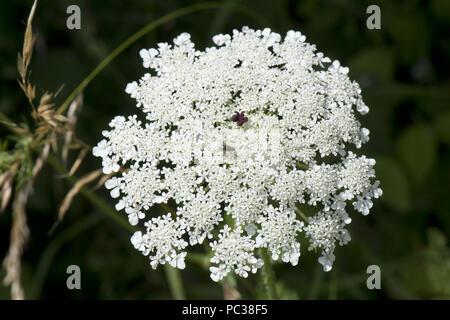 Zanahoria silvestre o Queen Anne's lace, Daucus carota, densa umbela blanca con insectos y una sola floret Granate rojo oscuro en el centro. Imagen De Stock