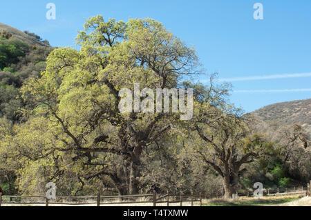 Las encinas en Fort Tejon en el Valle de San Joaquín, cerca de Lebec, California. Fotografía Digital. Imagen De Stock
