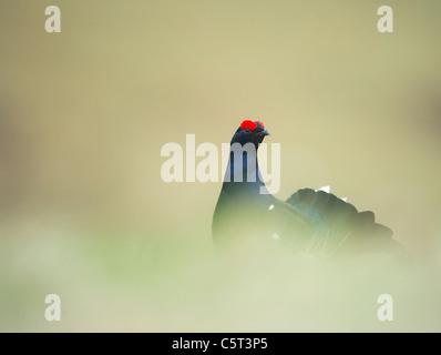 Urogallo negro Tetrao tetrix retrato de un hombre adulto en un páramo abierto al amanecer. Escocia, Reino Unido Imagen De Stock