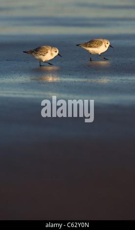 SANDERLING Calidris alba un par de forrajeo de adultos a lo largo de una playa en golden luz del atardecer Lincolnshire, Imagen De Stock
