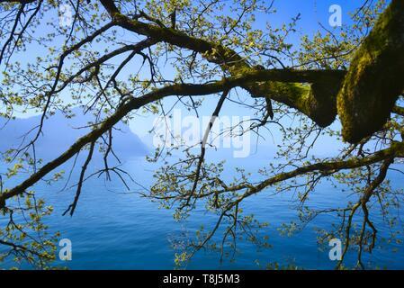 Rama de árbol por un lago, el lago de Lucerna, Suiza Imagen De Stock