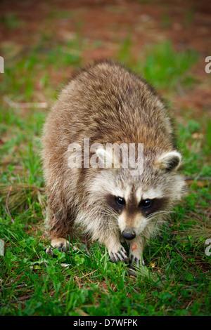 Imagen cercana de un norteamericano común mapache (Procyon lotor). Imagen De Stock