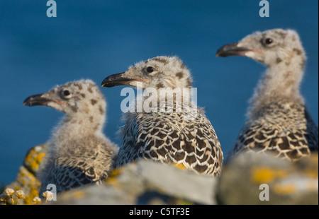 Gran negro-respaldado gull Larus marinus Tres polluelos en una línea en su nido. De mayo. Las Islas saltee, Imagen De Stock