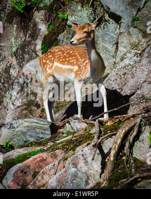 Un pequeño y joven gamo fawn está buscando en una piedra de la roca. Imagen De Stock