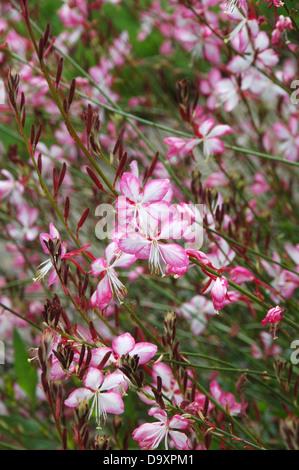 Rosa y las flores blancas de planta perenne herbácea Gaura linheimeri Rosy Jane. Imagen De Stock