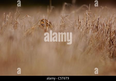 BROWN LIEBRE Lepus europaeus liebre adulta una alerta busca con cautela desde la portada de algunos de rastrojo Imagen De Stock