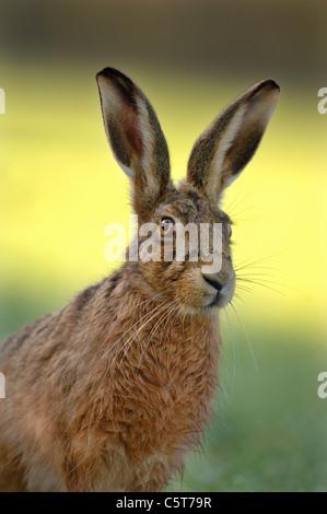 BROWN LIEBRE Lepus europaeus close up retrato de un adulto alerta mostrando sus enormes orejas. De marzo. Derbyshire, Imagen De Stock