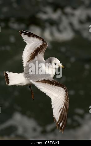 KITTIWAKE Rissa tridactyla un menor con su característico plumaje cuelga sobre costera fuerte las corrientes Imagen De Stock