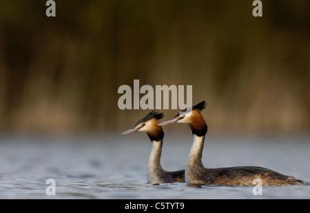 Somormujo LAVANCO Podiceps cristatus las parejas reproductoras de adultos en el perfil de un pequeño lago. Imagen De Stock