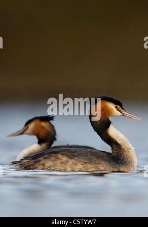 Somormujo LAVANCO Podiceps cristatus un par de adultos en el perfil pasan unos a otros en un pequeño lago. Imagen De Stock