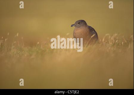 Gran skúas Stercorarius skúas un sub-adulto en páramos abiertos al amanecer. De septiembre. Islas Imagen De Stock