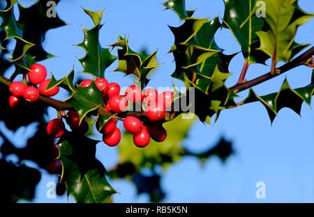 Bayas rojas y hojas de acebo verde Imagen De Stock